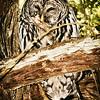 barred-owl-flash-portrait-washington-1