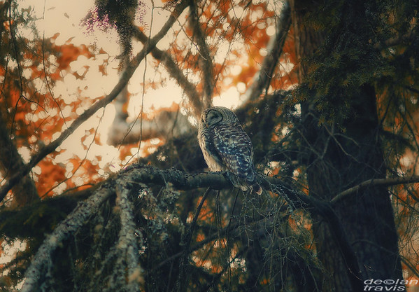 autumn-owl-barred-life-1