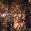 barred-owl-south-whidbey-2017-edit