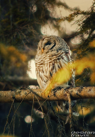 autumn-owl-barred-life-5