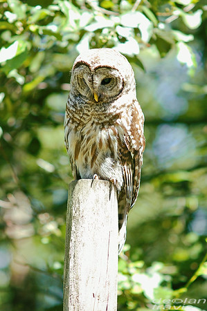 barred-owl-june-third-2016-iii