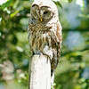 barred-owl-june-third-2016-iii