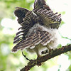 barred-owl-juvenile-nine-am-mid-june-whidbey