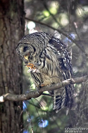 barred-owl-july-31-2017-whidbey-3