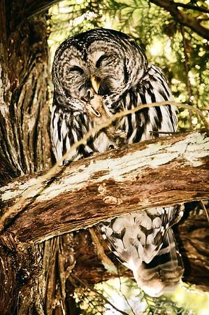 barred-owl-flash-portrait-washington-2