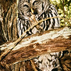 barred-owl-flash-portrait-washington-2