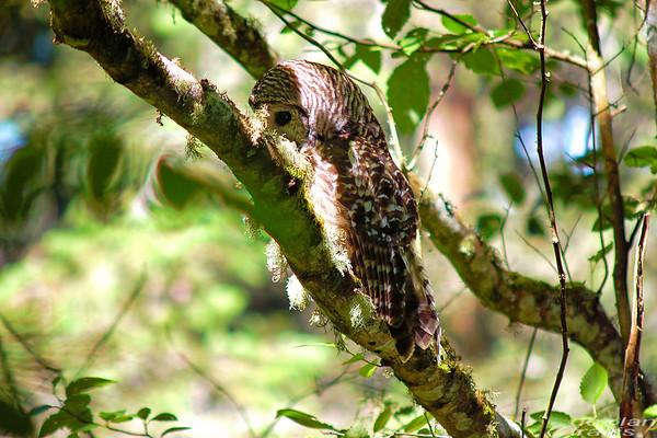 barred-owl-june-25-2017-4