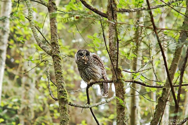 barred-owl-swallowing-bird-frame-5