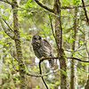 barred-owl-swallowing-bird-frame-5
