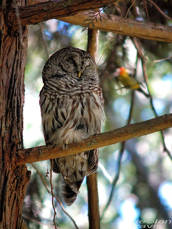 barred-owl-and-western-tanager 193-edit
