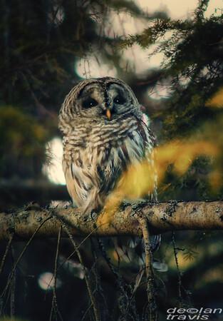 autumn-owl-barred-life-4