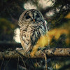autumn-owl-barred-life-4