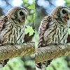 barred-owl-calling-out-for-dinner-diptych