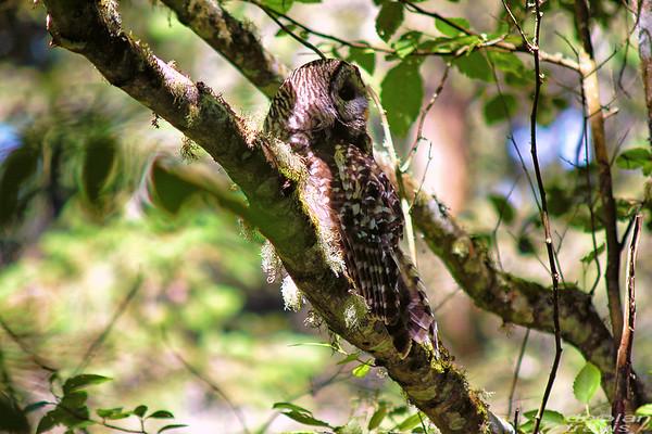 barred-owl-june-25-2017-5