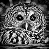 barred-owl-cedar-tree-pacific-northwest