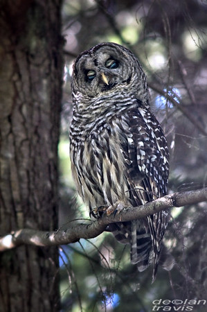 barred-owl-july-31-2017-2-whidbey-island