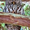 Owl Nap
