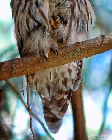 barred-owl-and-western-tanager-485-crop