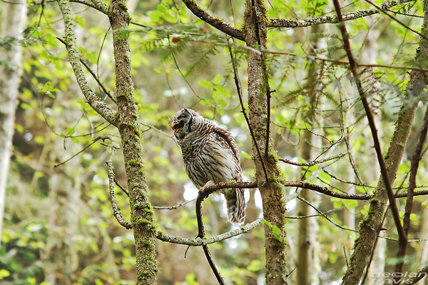 barred-owl-swallowing-bird-frame-9