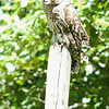 barred-owl-june-third-2016-iv