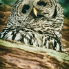 barred-owl-barred-life-washington-cedar