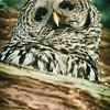barred-owl-barred-life-washington-cedar