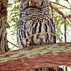 Laughing Buddha Owl