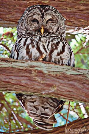 Barred Owl on Red Cedar Branch