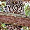 Barred Owl on Red Cedar Branch
