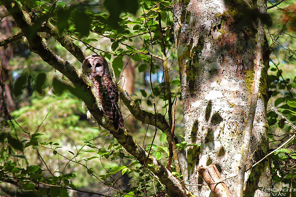 barred-owl-june-25-2017-2
