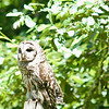 barred-owl-june-third-2016-i