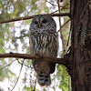 Whidbey Island Barred Owl in Woods