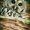 barred-owl-barred-life-washington-cedar-3