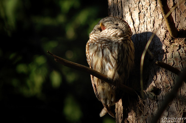 barred-owl-july-1-2017 075-perched-2