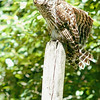 barred-owl-june-third-2016-ix