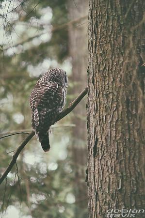 Barred Owl Perched In Cedar