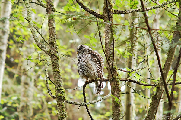 barred-owl-swallowing-bird-frame-12