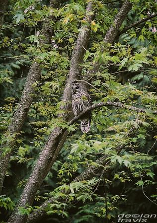 barred-owl-photo-maple-tree-whidbey-island