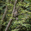 barred-owl-photo-maple-tree-whidbey-island