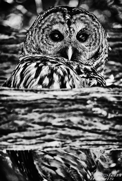 barred-owl-barred-life-washington-whidbey-cedar