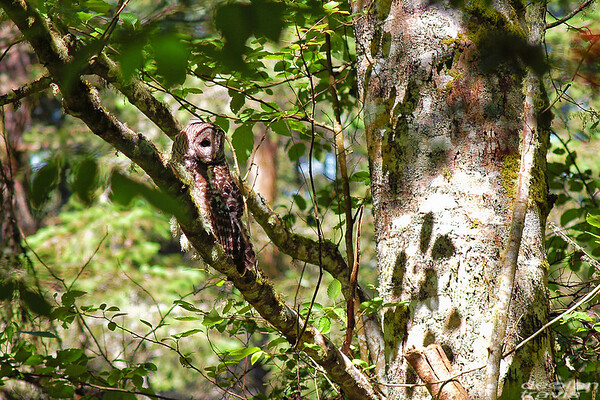 barred-owl-june-25-2017-3