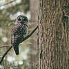Barred Owl Perched on Cedar Tree Branch