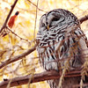 Barred Owl and American Robin