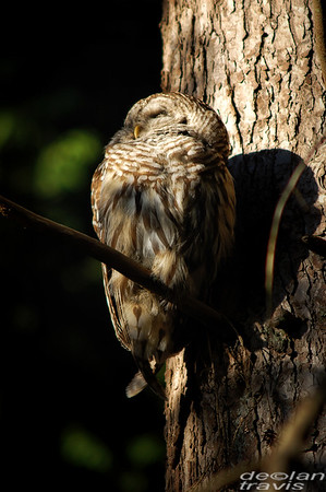 barred-owl-july-1-2017 057-perched-3