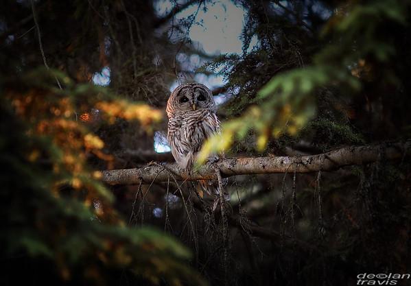 autumn-owl-barred-life-10