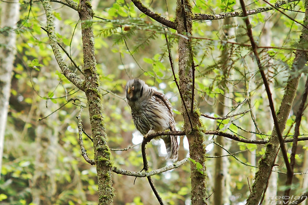 barred-owl-swallowing-bird-frame-6