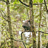 barred-owl-swallowing-bird-frame-2