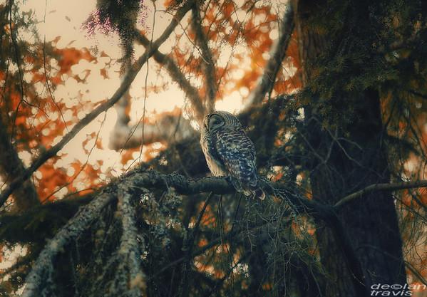 autumn-owl-barred-life-2