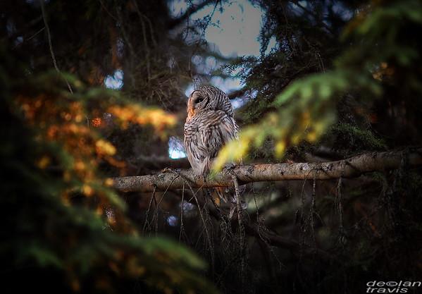 autumn-owl-barred-life-11