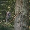 Barred Owl Eyes Declan Travis